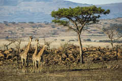 Trzy żyrafa pod drzewem Obraz Royalty Free