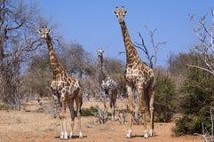 Trzy żyrafy w Chobe parku narodowym w Botswana, Afryka Obraz Stock