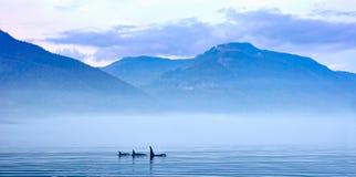 Trzy zabójcy wieloryba w góra krajobrazie przy Vancouver wyspą Zdjęcie Royalty Free