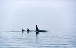 Trzy zabójcy wieloryba z ogromnymi dorsalnymi żebrami przy Vancouver wyspą zdjęcia stock