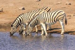Trzy zebr pić Zdjęcia Royalty Free