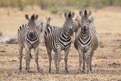 Trzy zebry, Kruger park, Południowa Afryka Zdjęcie Stock