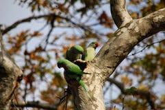 Trzy zielona papuga w zielonym tropikalnym lesie deszczowym Zdjęcie Royalty Free