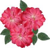 Trzy zmroku różowy brier kwitnie na białym tle ilustracja wektor