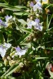 Trzykrotka, tradeskanci andersoniana biali kwiaty fotografia royalty free
