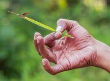 Trzymać dragonfly dla odpoczywać i trawy obraz stock