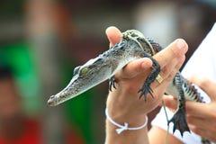 Trzymać dziecko krokodyla Obrazy Royalty Free