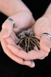 Trzymać tarantuli zdjęcia royalty free