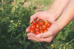 trzymaj ręce pomidorów Fotografia Royalty Free