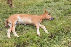 Trzymiesięczny źrebię brązu kolor śpi na zielonej trawie obrazy royalty free