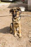Trzymiesięczny szczeniak pętający łańcuch Zdjęcie Royalty Free