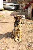 Trzymiesięczny szczeniak pętający łańcuch Obraz Royalty Free