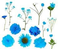 Trzynaście bławego odosobnionego kwiatu inkasowego Obrazy Royalty Free