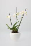 Biała orchidea w Białego kwiatu garnku fotografia stock