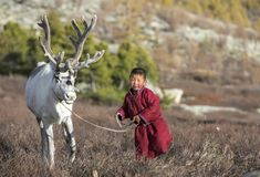 Tsaatan boy, dressed in a traditional deel with a reindeer. In a taiga of Norther Mongolia Royalty Free Stock Photography