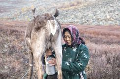 Tsaatan-Frau, die ihr Ren milk Stockbild