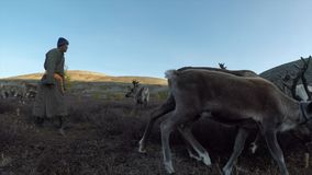Tsaatan man with his reindeer in norther Mongolia stock video