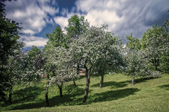 Tsaritsyno Palace Park. Moscow, Russia. 1775. Apple orchard in bloom in Tsaritsyno Palace Park. Moscow, Russia. 1775 Royalty Free Stock Photo