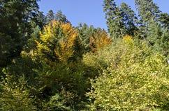 Tsarska或皇家Bistritsa公园休息的和步行与不同地树在近令人尊敬的秋季森林里由手段Borovets 库存照片