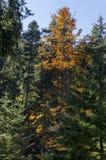 Tsarska或皇家Bistritsa公园休息的和步行与不同地树在近令人尊敬的秋季森林里由手段Borovets 图库摄影