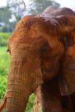 Tsavo,肯尼亚红色大象头  免版税库存照片