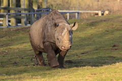 Tsavo黑色犀牛 库存图片