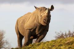 Tsavo黑色犀牛 免版税库存图片