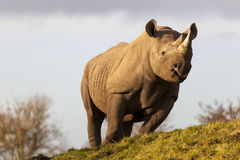 Tsavo黑色犀牛 免版税库存照片