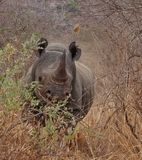 Χρεώνοντας ρινόκερος, δυτικό εθνικό πάρκο Tsavo, Κένυα, Αφρική στοκ φωτογραφία με δικαίωμα ελεύθερης χρήσης