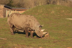 Μαύρος ρινόκερος Tsavo στοκ εικόνα