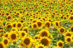Tschechische Republik - Feld von Sonnenblumen Stockbilder