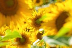 Tschechische Republik - Feld von Sonnenblumen Stockbild