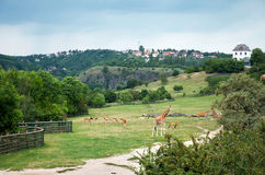 Tschechische Republik prag Prag-Zoo giraffen 12. Juni 2016 Lizenzfreies Stockbild