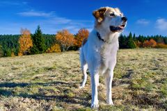 Tschechischer Gebirgshund Lizenzfreies Stockbild