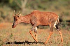 Tsessebe羚羊 免版税图库摄影