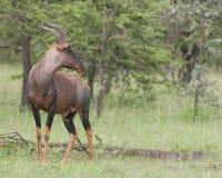 Tsessebe,Damaliscus lunatus lunatus,羚羊,看起来正确 免版税库存图片
