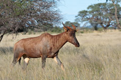 Tsessebe. In Mokala national park, South African Royalty Free Stock Images