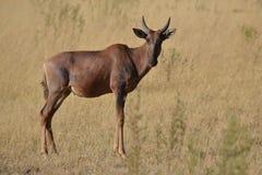 Tsessebe Royalty-vrije Stock Foto's