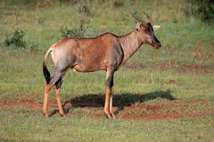 Tsessebe antelope Royalty Free Stock Image