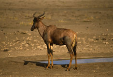 Tsessebe Antelope Royalty Free Stock Photos