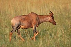 Tsessebe antelope Royalty Free Stock Photo