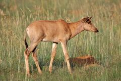 Tsessebe antelope calf Stock Images