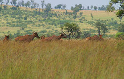 Tsessebe antelope grazing in Pilanesberg National. Tsessebe antelope grazing on a savannah in Pilanesberg National Park in South Africa. The image was taken in Stock Photo