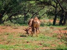Tsessebe Antelope Stock Images