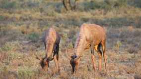 Tsessebe antelopes grazing. Two tsessebe antelopes (Damaliscus lunatus) grazing in natural habitat, South Africa stock footage
