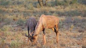 Tsessebe antelopes grazing stock footage