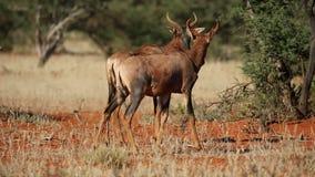 Tsessebe antelopes. Two tsessebe antelopes (Damaliscus lunatus) in natural habitat, South Africa stock video footage