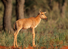 Tsessebe antilopkalv Arkivfoton