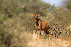 Tsessebe in the bush Royalty Free Stock Photography