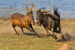 Tsessebe chasing Wildebeast. Tsessebe chasing a black Wildebeast with water as background Royalty Free Stock Images